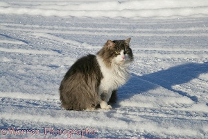 Norwegian Forest Cat sitting on snow