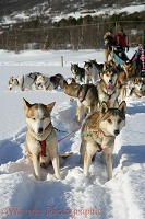 Huskies waiting to pull a sledge