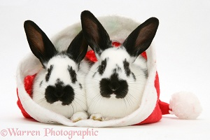 Black-and-white rabbits in a Santa hat