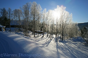 Sun on frost-covered birches