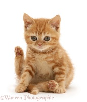 Ginger kitten sitting with hind leg raised