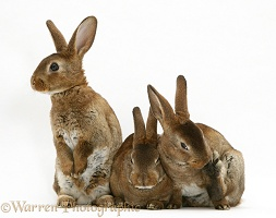 Three brown Rex rabbits