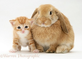 Ginger kitten and sandy rabbit