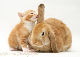 Ginger kitten sniffing ear of sandy Lop rabbit