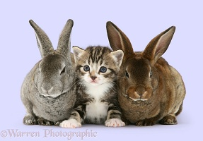 Tabby kitten and two rabbits