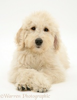 Labradoodle puppy with paws crossed