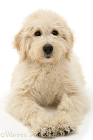 Labradoodle puppy resting on haunches