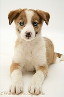 Blue-eyed Border Collie pup