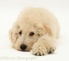 Cream Labradoodle pup lying with chin on floor