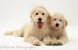 Cream Labradoodle bitch and pup