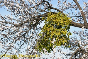 Mistletoe in an Sweet Almond tree in bloom