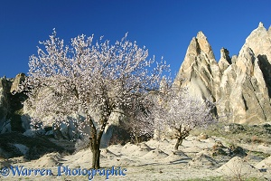 Sweet Almond blossom and fairy chimneys