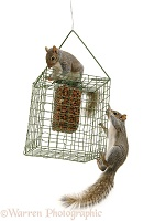 Grey Squirrels on squirrel-proof peanut holder
