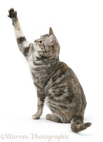 Tabby cat with paw up
