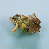 Pair of Common Frogs