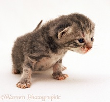 Silver tortoiseshell kitten, 2 weeks old