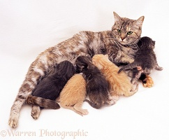 Silver-tortoiseshell mother cat suckling kittens
