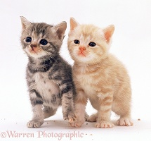 Silver tortoiseshell and ginger kittens