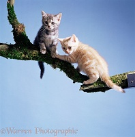 Cream and silver tabby kittens on a branch