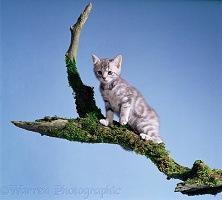 Silver tabby kitten, 10 weeks old, on a branch