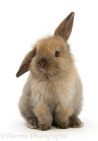 Young brown Lop rabbit