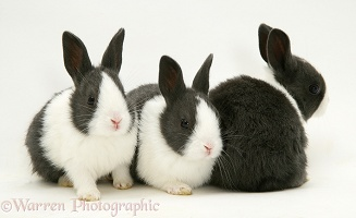 Three black-and-white baby rabbits