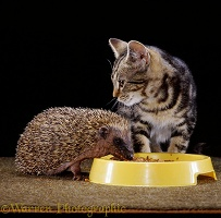 Hedgehog and kitten sharing food