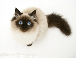 Birman cat looking up
