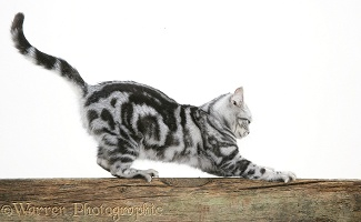 Silver tabby cat stropping on a fence