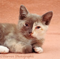 Kitten with conjunctivitis