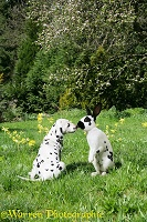 Dalmatian pup and English Spotted rabbit