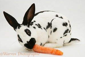 English Spotted buck rabbit eating a carrot