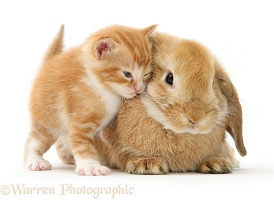 Ginger kitten rubbing against a young Sandy Lop rabbit