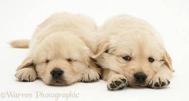 Sleepy Golden Retriever puppies