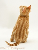 Ginger kitten back view