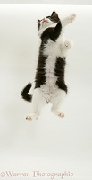 Black-and-white kitten dancing