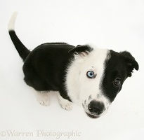 Black-and-white Border Collie looking up