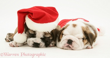 Bulldog pups asleep in Santa hats