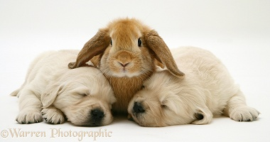 Rabbit and two sleepy Retriever pups