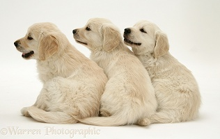 Golden Retriever pups looking to the side