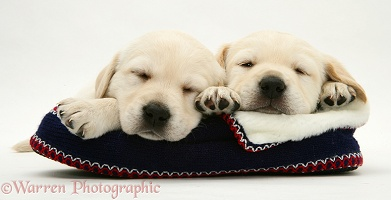 Sleepy Yellow Goldador pups on a knitted slipper