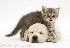 Blue tabby kitten and sleeping yellow Goldador pup
