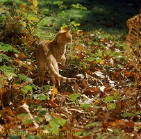 Ginger cat prowling