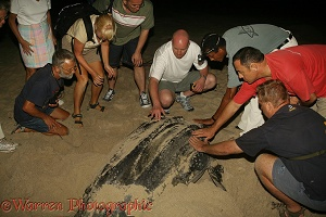 Leatherback Turtle laying eggs with spectators