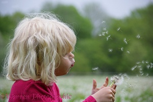 Little girl blowing Dandelion seeds