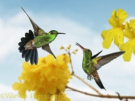 Copper-rumped Hummingbirds