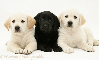 Yellow and black Goldador Retriever pups