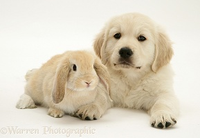 Golden Retriever pup with young Sandy Lop rabbit