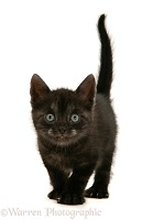Black Smoke Spotted British Shorthair kitten