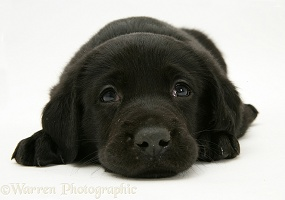 Black Goldador Retriever pup